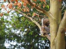 Eekhoorn op een Boom Stock Afbeeldingen