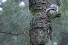 Eekhoorn op een boom in bosmexico royalty-vrije stock afbeeldingen
