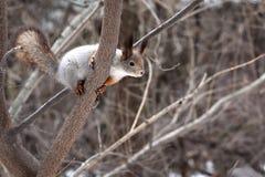 Eekhoorn op een boom in het de lentebos stock afbeelding