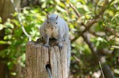 Eekhoorn op een boomstomp Stock Foto