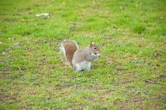 Eekhoorn op een gebied Royalty-vrije Stock Foto's
