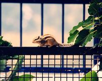 Eekhoorn op een omheining Royalty-vrije Stock Foto