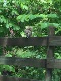 Eekhoorn op een omheining Stock Foto