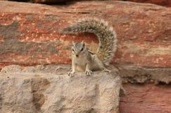 Eekhoorn op een rots, in India Stock Foto