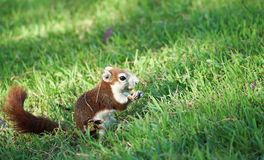 Eekhoorn op gras Stock Foto