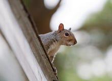 Eekhoorn op het Dak Stock Afbeelding