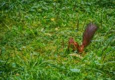 Eekhoorn op het gras Stock Foto