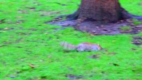 Eekhoorn op het gras stock videobeelden