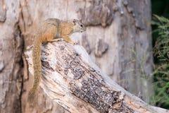 Eekhoorn op tak Stock Afbeelding