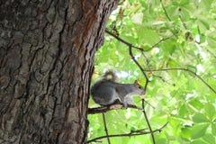 Eekhoorn op zijn tak Stock Afbeeldingen