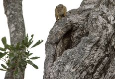 Eekhoorn over een boom royalty-vrije stock afbeelding