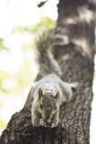 Eekhoorn over een boom Stock Foto's