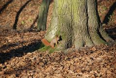 Eekhoorn in Park 4 Stock Foto