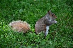 Eekhoorn in park in Boston Royalty-vrije Stock Foto