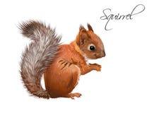Eekhoorn realistische illustratie Stock Afbeelding