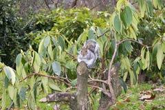 Eekhoorn Sheffield Botanical Gardens South Yorkshire 20 December royalty-vrije stock afbeeldingen