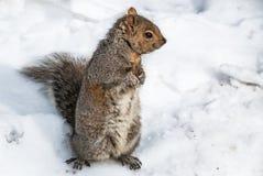 Eekhoorn in Sneeuw Stock Foto