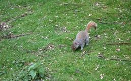 Eekhoorn in St James van Londen Park Stock Foto