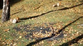 Eekhoorn twee knaagt aan brood stock videobeelden