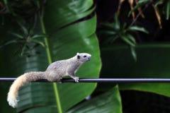 Eekhoorn van Azië, de de langzame aardeekhoorngang of de looppas beklimmen machtslijnen in de ochtend royalty-vrije stock foto