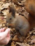 Eekhoorn van de hand die een noot eten royalty-vrije stock fotografie