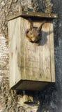 Eekhoorn in vogelshuis dat wordt geplakt Stock Foto