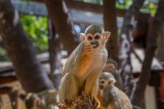 Eekhoornaap die (saimiri) in dierentuin eten royalty-vrije stock fotografie