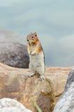 Eekhoornaardeekhoorn Royalty-vrije Stock Foto