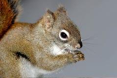 Eekhoorns Royalty-vrije Stock Afbeelding