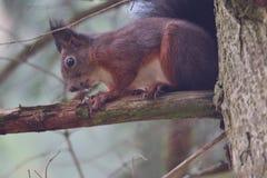 Eekhoornsciurine crawly op de bomen stock afbeelding