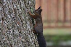 Eekhoornsciurine crawly op de bomen stock afbeeldingen