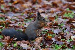 Eekhoornsciurine crawly op de bomen royalty-vrije stock afbeeldingen