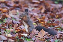 Eekhoornsciurine crawly op de bomen stock foto