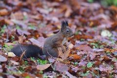 Eekhoornsciurine crawly op de bomen stock fotografie