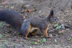 Eekhoornsciurine crawly op de bomen royalty-vrije stock foto's