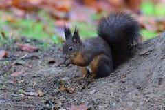 Eekhoornsciurine crawly op de bomen royalty-vrije stock fotografie
