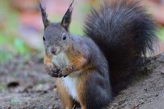 Eekhoornsciurine crawly op de bomen stock foto's