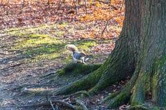 Eekhoornspeeltijd Stock Foto's
