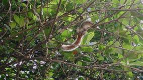 Eekhoornzitting bij de bovenkant van een tak op een boom die voedsel smakt stock footage