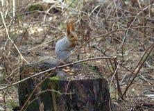 Eekhoornzitting op een pijnboomstomp stock afbeelding