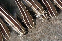eel сома Стоковое фото RF