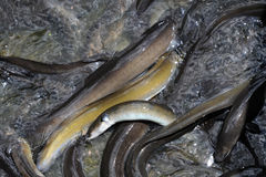 Eel Stock Photos