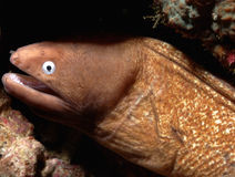 Eel aceh indonesia scuba diving. Diver Royalty Free Stock Image