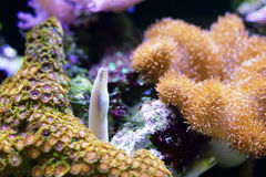 Eel amongst anemone Stock Images