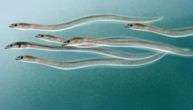 Eel elvers. Digital illustration of a small group of Eel elvers Royalty Free Stock Images