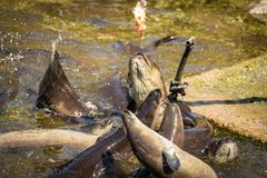 Eel Feeding Frenzy, New Zealand Fresh Waters. Eels start to gather for feeding in new zealand eco reserve in waikanai Nga Mana sanctuary stock images