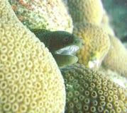 Eel Moray Стоковое фото RF