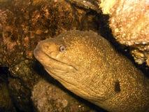 Eel off the California Coast Stock Image
