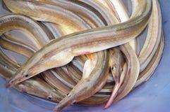 Eel Stock Images
