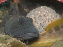 Eel pout guarding its' eggs. Royalty Free Stock Photos